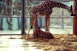 MunchenZooGiraffe