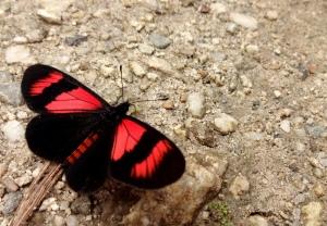 SalkantayButterfly