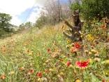 KrauseAustinWildflowers