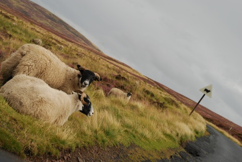 ScotlandSheep