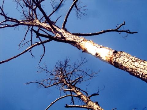 BastropTrees