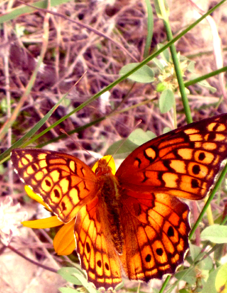 PedernalesButterfly