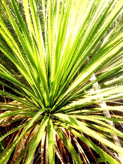PedernalesPlant