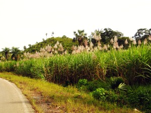 SugarCaneFields